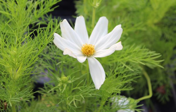 Cosmos, Apollo 'White'