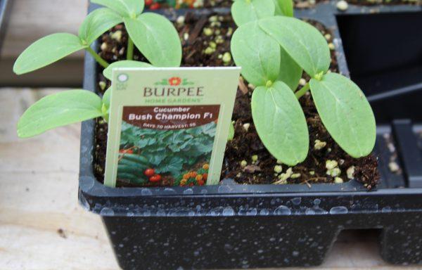 Cucumber 'Burpee Bush Champion'