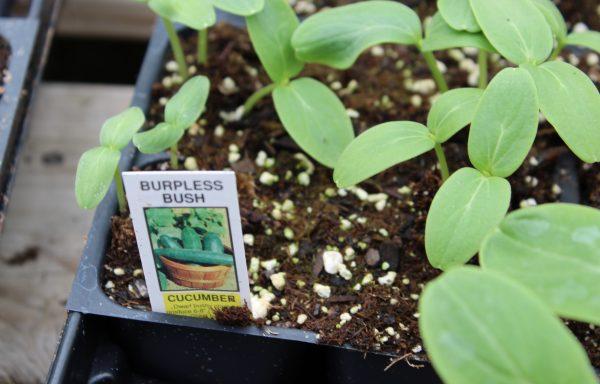 Cucumber 'Burpless Bush'