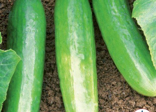 Cucumber 'Diva' (AAS Winner)