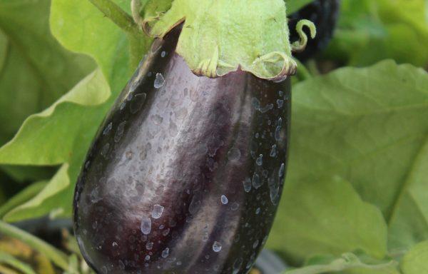 Eggplant 'Classic Hybrid'