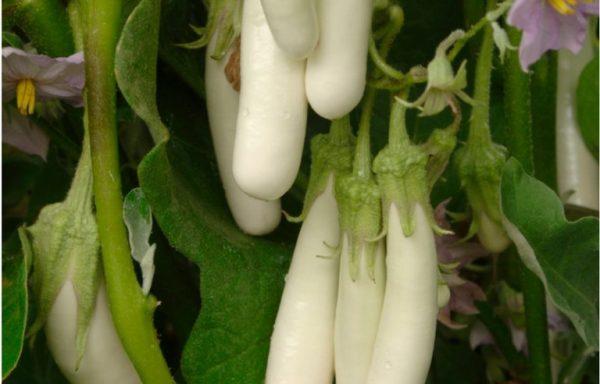 Eggplant 'Gretel' (AAS Winner)