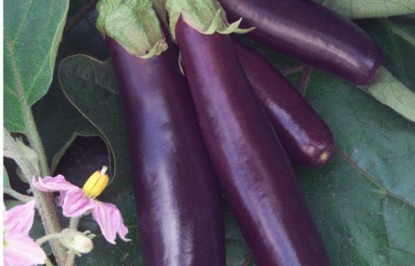 Eggplant 'Hansel' (AAS Winner)
