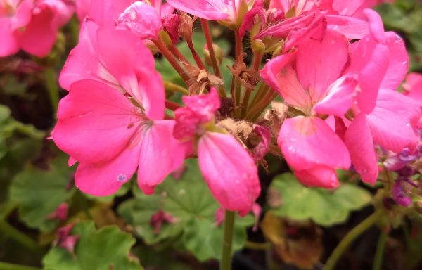 Geranium, Pinto Premium 'Deep Rose'