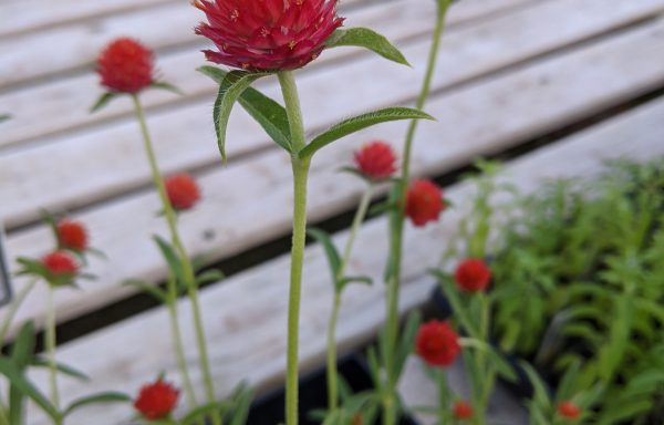 Gomphrena 'QIS Red'