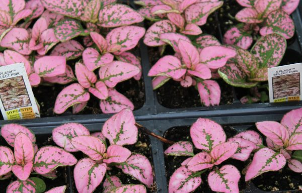 Hypoestes 'Pink Splash Select'  (Polka Dot Plant)