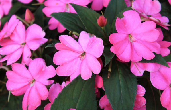 Impatiens, Sunpatiens 'Compact Lilac'