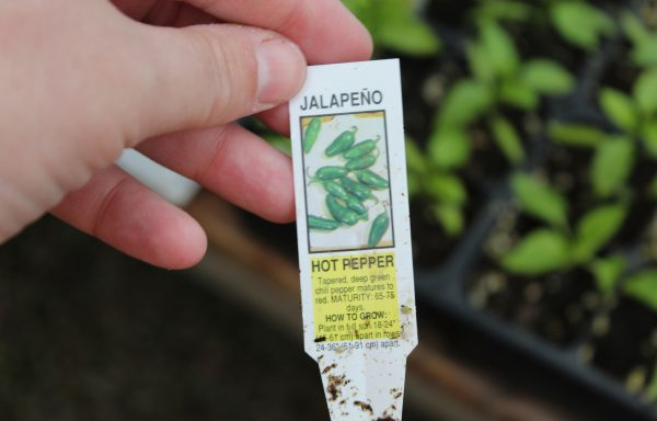 Pepper, Hot 'Jalapeno M'