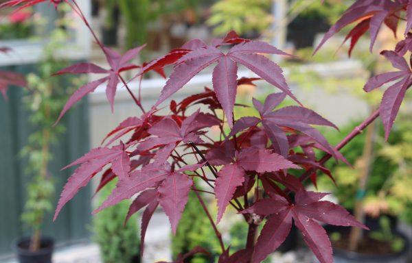 Maple, Japanese 'Emperor I'