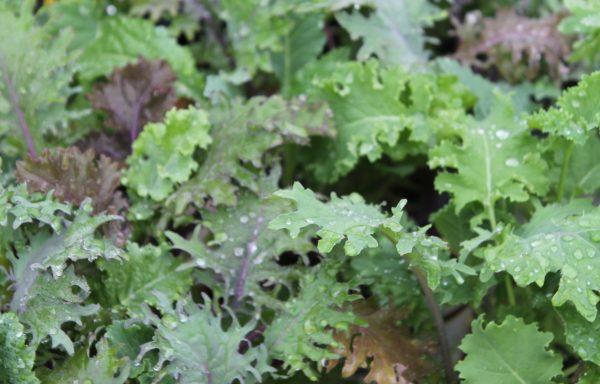 Kale 'Kale Storm'