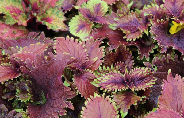 Coleus, Under The Sea 'King Crab'