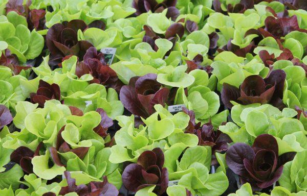 Lettuce 'Salanova'