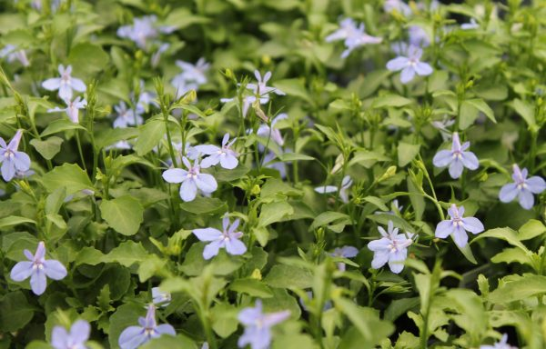 Lobelia, Hot 'Water Blue'