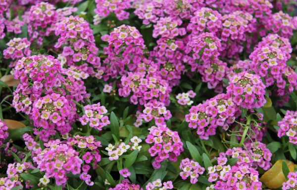 Lobularia 'Raspberry Stream'