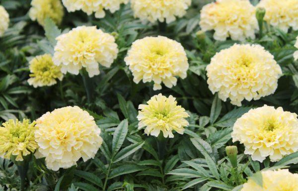 Marigold 'French Vanilla'