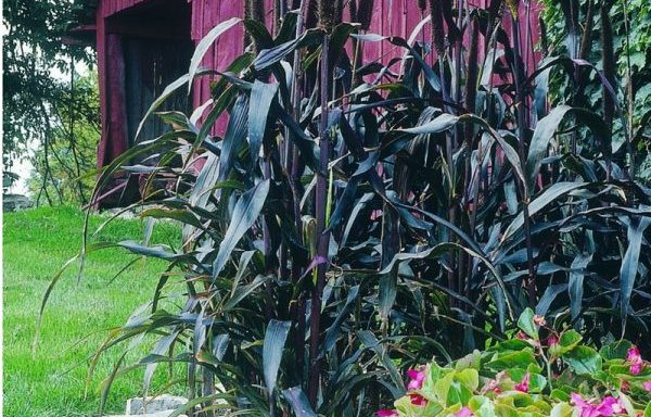Millet, Ornamental 'Purple Majesty' -(AAS Winner)