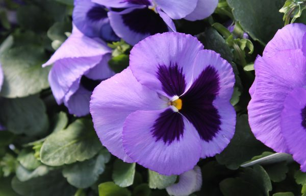 Pansy, Matrix 'Ocean'