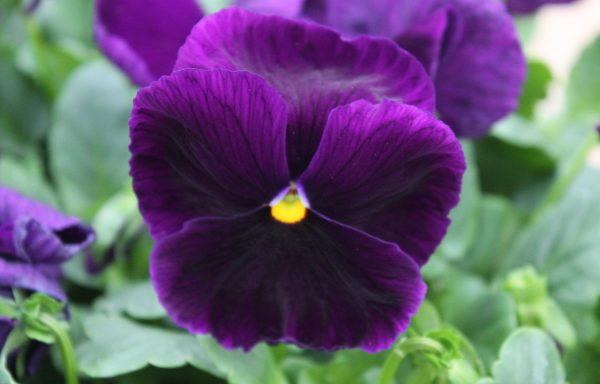Pansy, Matrix 'Purple'