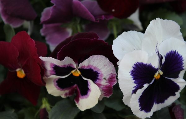 Pansy, Matrix 'Raspberry Sundae'