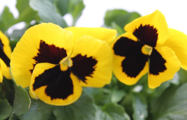 Pansy, Matrix 'Yellow With Blotch'