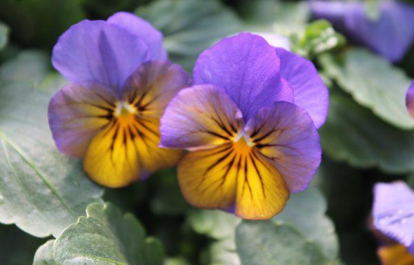 Viola, Sorbet XP 'Morpho'