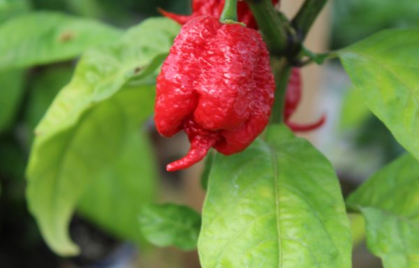 Pepper, Hot 'Carolina Reaper'
