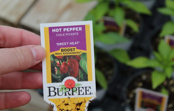Pepper, Hot 'Sweet Heat'