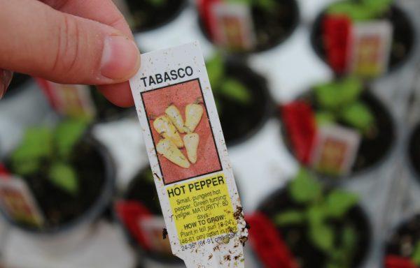 Pepper, Hot 'Tabasco G'