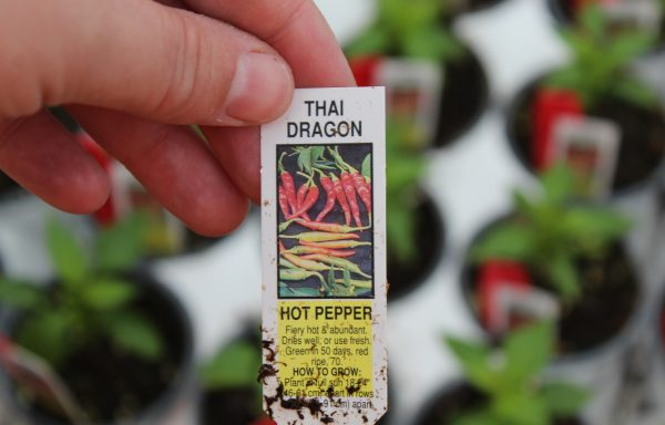 Pepper, Hot 'Thai Dragon' (Super Chili)