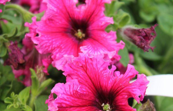 Petunia, Expresso 'Frappe Rose'