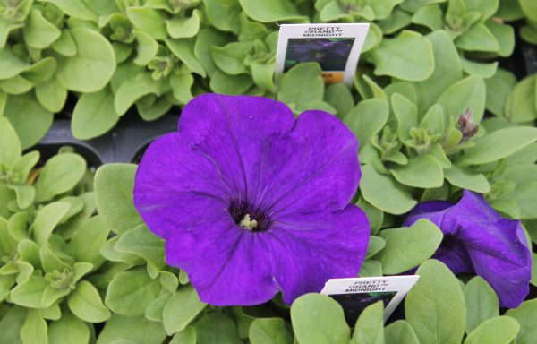 Petunia, Pretty 'Grand Midnight'