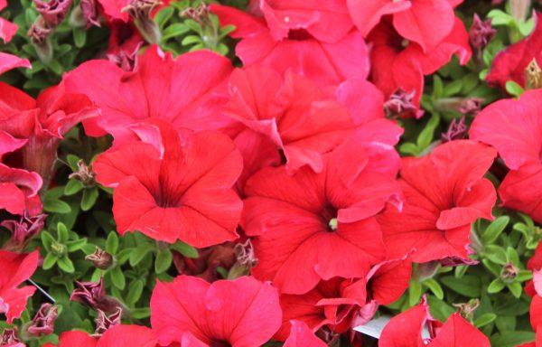 Petunia, Pretty 'Grand Red'