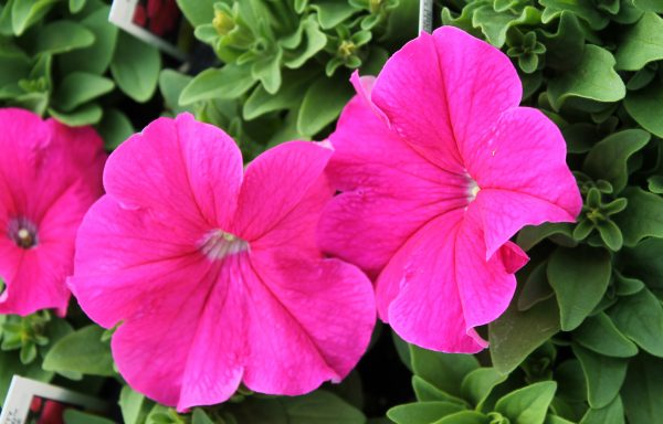 Petunia, Pretty 'Grand Rose'