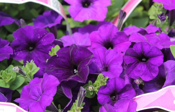Petunia, Easy Wave 'Blue'