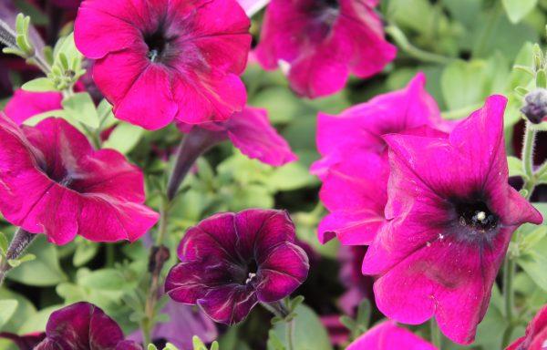 Petunia, Easy Wave 'Burgundy Velour'