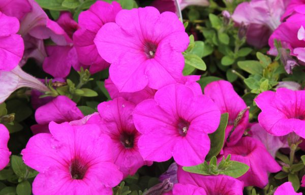 Petunia, Easy Wave 'Neon Rose'