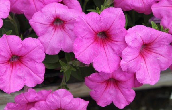 Petunia, Easy Wave 'Pink Passion'