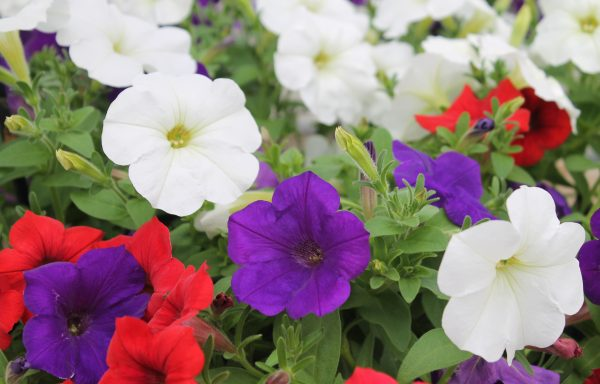 Petunia, Easy Wave 'Red, White & Blue'
