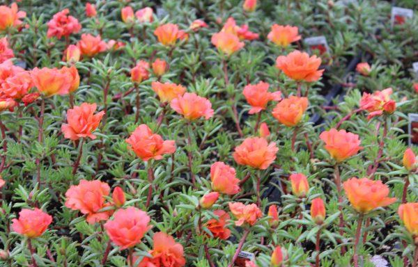 Portulaca, Happy Trails 'Orange'