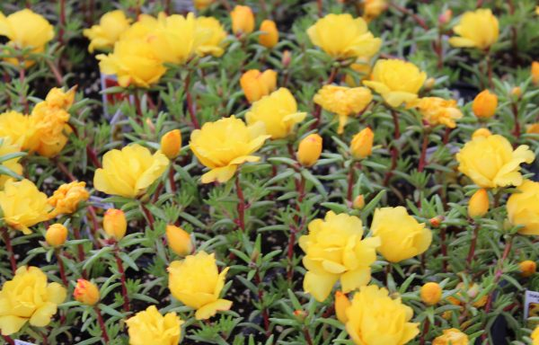 Portulaca, Happy Trails 'Yellow'