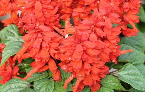Salvia, Mojave™ 'Red'