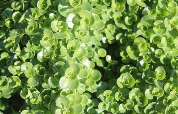 Sedum 'John Creech'