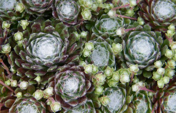 Hens And Chicks 'Cobweb'