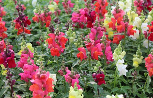 Snapdragon, Candy Tops 'Dwarf Mix'