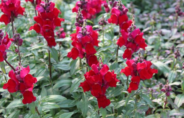 Snapdragon, Candy Tops 'Red'