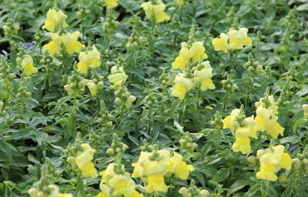 Snapdragon, Candy Tops 'Yellow'
