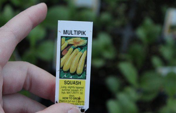 Squash 'Multipik'