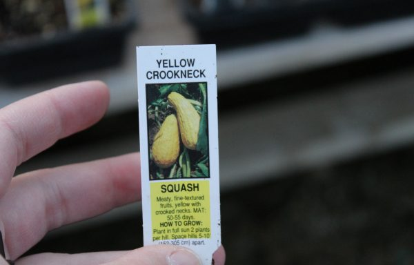 Squash 'Yellow Summer Crookneck'