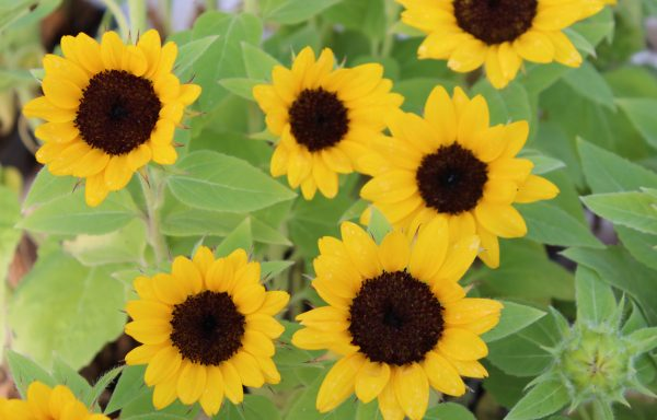 Sunflower 'Miss Sunshine'