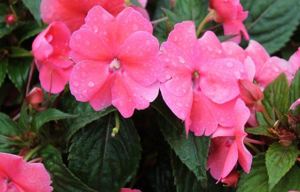 Impatiens, Sunpatiens 'Compact Pink'